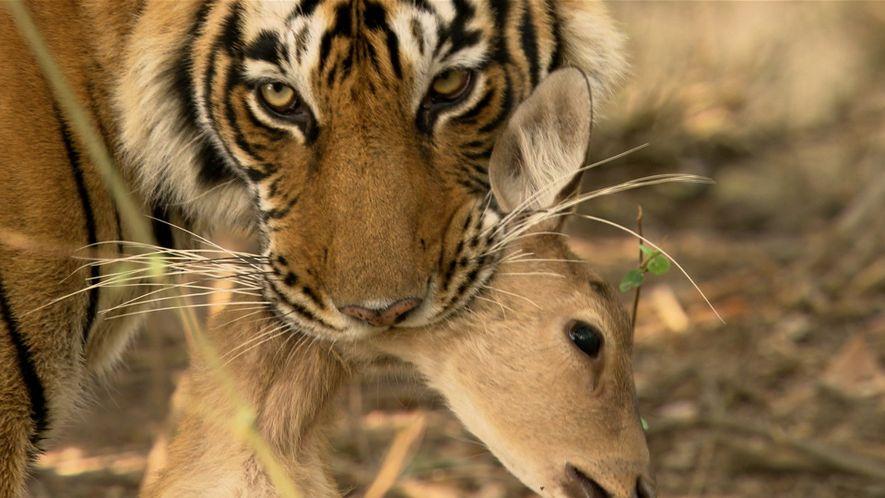 Tigres - Uma Fêmea de Tigre Enfrenta um Macho na Procura por Alimento.