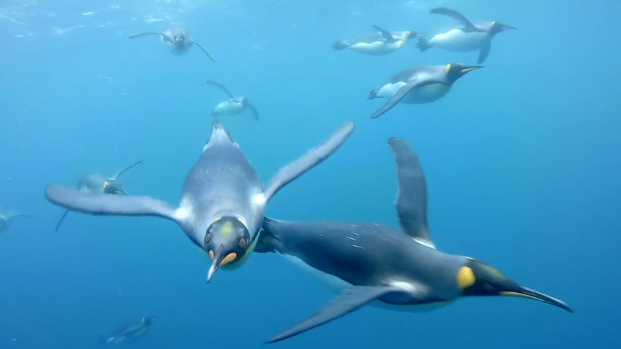Nadar com Pinguins-Rei