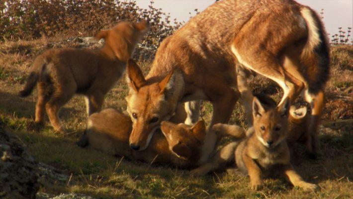 Estes Dois Lobos-etíopes São os Únicos Sobreviventes de um Grupo de 23