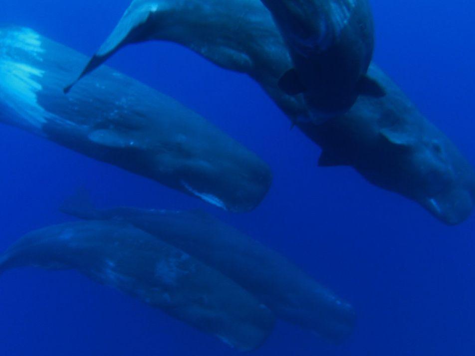 Os Cachalotes e os seus filhos