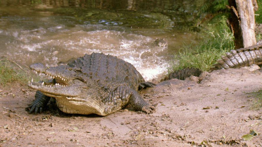 Um Crocodilo Devora Uma Zebra