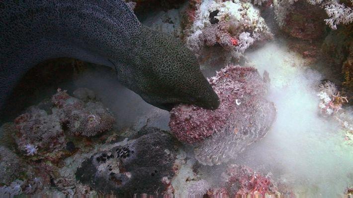 Peixe-pedra versus Moreias
