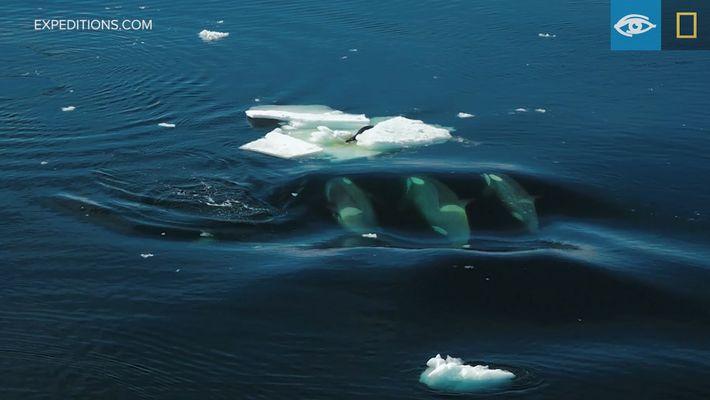 Veja Uma Foca Escapar a Um Grupo de Orcas Famintas