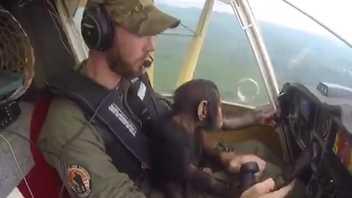 Chimpanzé Bebé Resgatado 'Ajuda' a Voar Avião