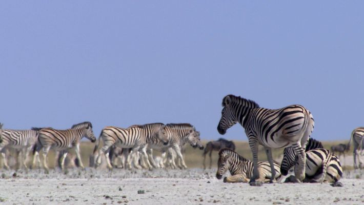 Todos Os Anos As Zebras Arriscam A Vida Para Chegar A Este Lugar