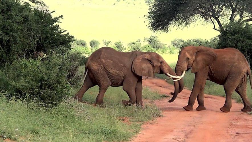 Brigas de Elefante