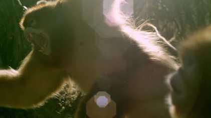 Luta Espetacular e Cerimónia de Acasalamento de Macacos-dourados