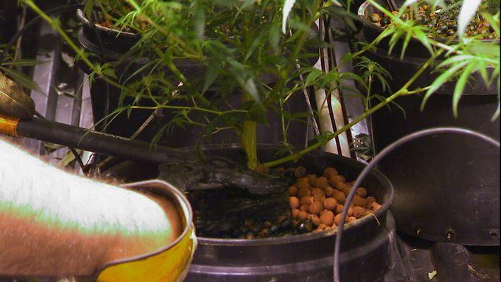 A luta contra a Cannabis