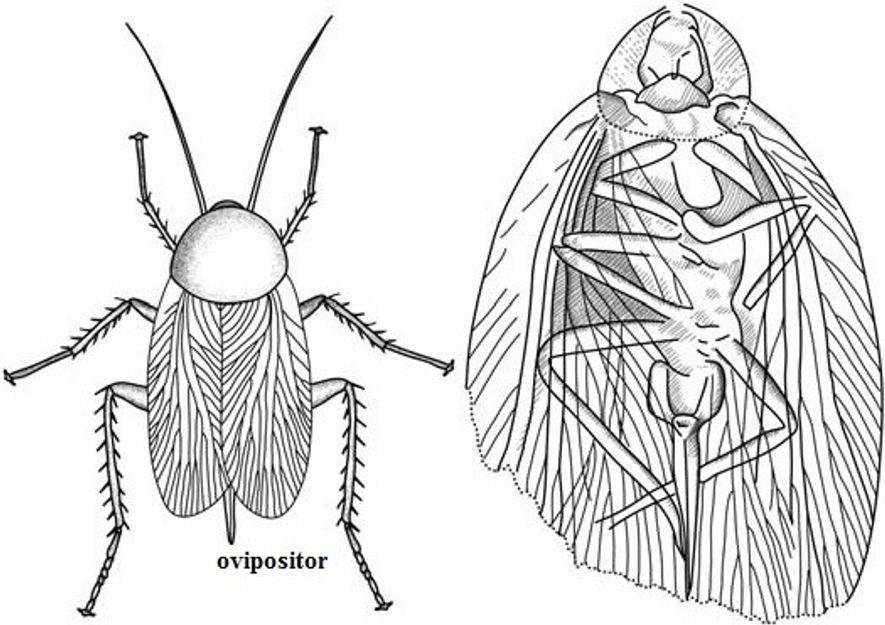 Desenhos esquemáticos da vista dorsal e ventral de uma barata parasitóide (roacóide – dictóptero paleozóico) do ...
