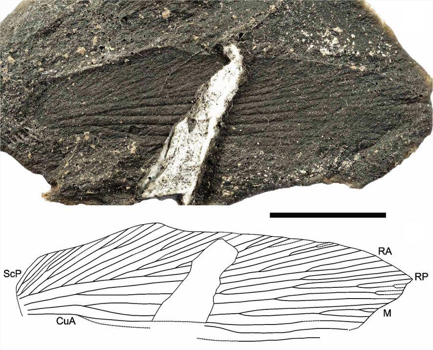 Molde latex e desenho esquemático de uma asa dianteira do novo fóssil de barata parasitóide (Eneriblatta ...