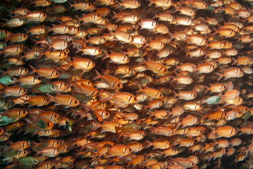 Cardume de Peixes-soldado Myripristis jacobus, uma imagem comum nos recifes de São Tomé e Príncipe.