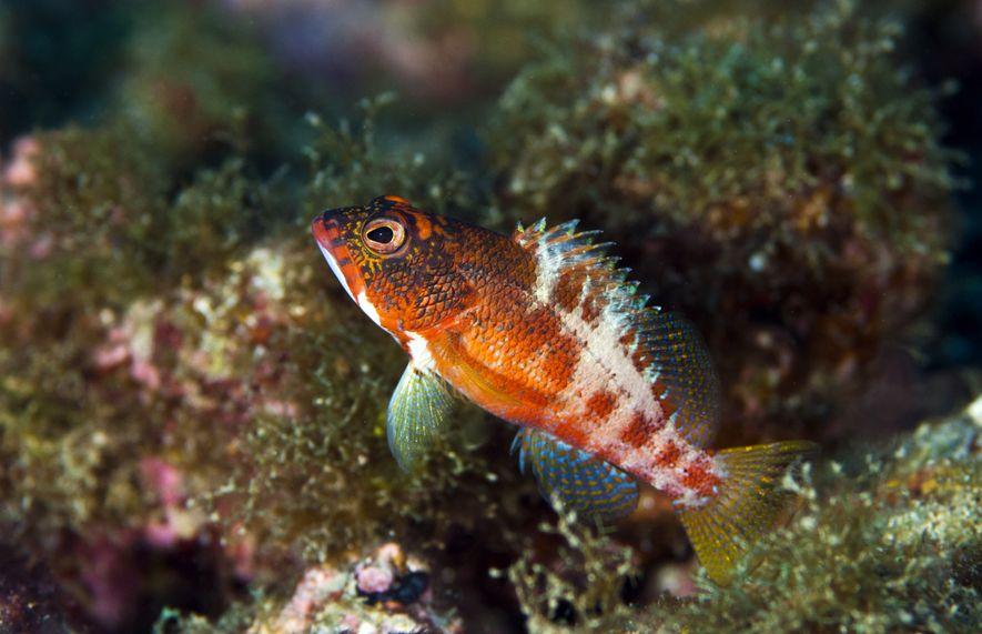 Garoupa de São Tomé Serranus pulcher, espécie descrita apenas em 2016.
