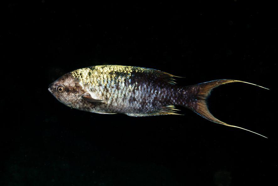 Bodião-crioulo-africano Clepticus africanus, espécie endémica de São Tomé e Príncipe.