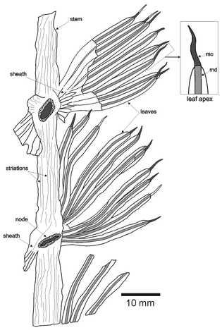 Desenho interpretativo em câmara clara do espécime-tipo (holótipo UP-MHNFCP-154065) de Annularia noronhai sp. nov.