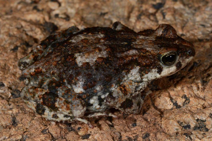 Sapo Pigmeu da Serra da Neve, Poyntonophrynus pachnodes, espécie endémica da Serra da Neve, apenas descrita ...