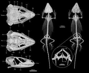 Reconstrução do esqueleto do Cordylus phonolithos através de micro tomografia computorizada.