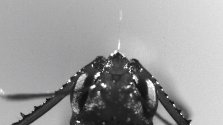 Veja Formigas 'Monstruosas' Atacarem Presas Mais Rápido do que Um Piscar de Olhos