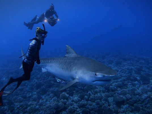 Mergulho Livre com Tubarões-tigre | World's Biggest Tiger Shark?