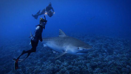 Mergulho Livre com Tubarões-tigre | World's Biggest Tiger Shark?