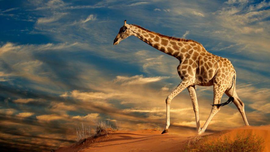 No Dia Mundial das Girafas, Conheça 10 Factos Engraçados Sobre este Animal