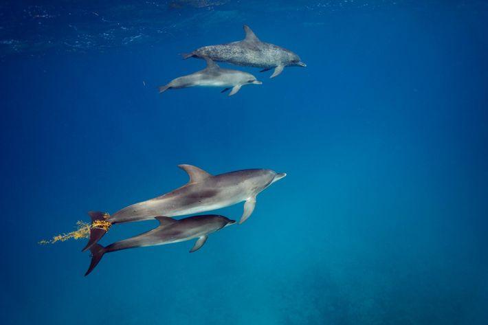 Uma progenitora golfinho e a cria brincam com algas