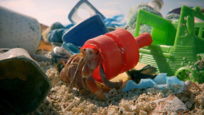 Caranguejo-Eremita Encontra Nova Casa de Plástico