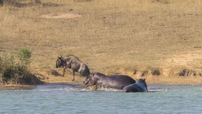 Veja Hipópotamos Salvarem Um Gnu da Mandíbula de Um Crocodilo