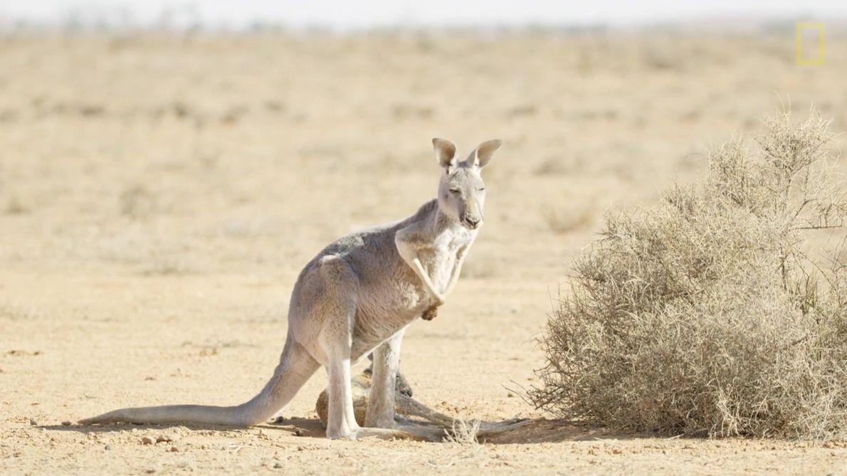 Cangurus Enfrentam Desafios no Deserto