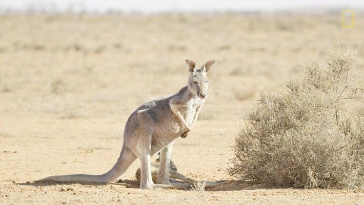 Hostile Planet - Deserts (Kangaroos)_PT_pt