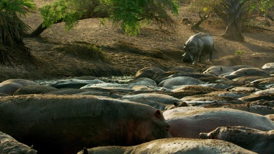 Confronto de Hipopótamos