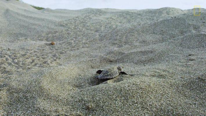 Tartarugas-Oliva Enfrentam Trajeto Aterrorizante
