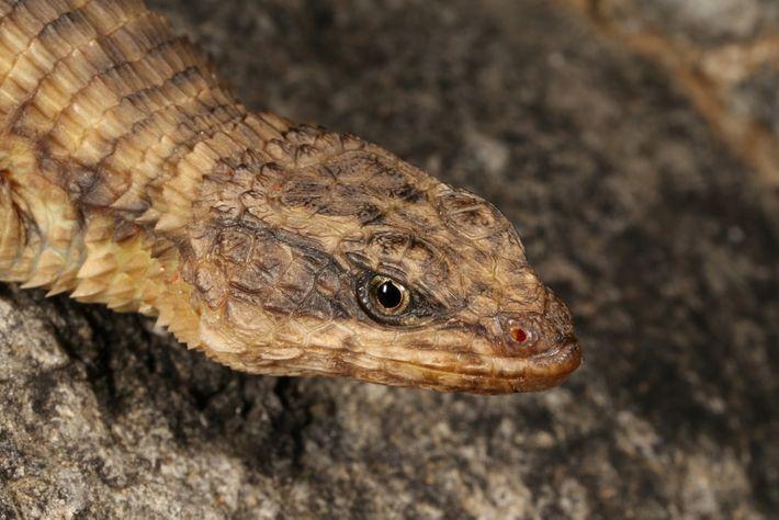 Lagarto-Espinhoso de N'Dolondolo, Cordylus phonolithos, a mais recente espécie descrita de Angola.