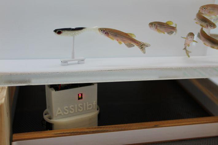 Grupo de peixes zebra e um robô que interage com eles. O robô tem duas partes, ...