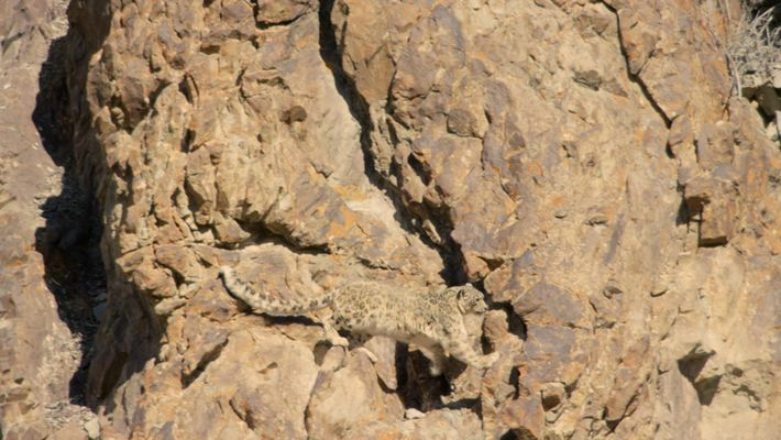 Leopardos Selvagens da Índia