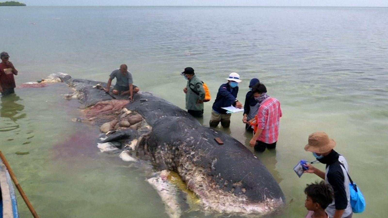 Encontrado Cachalote Morto Com Seis Quilos de Plástico no Estômago. O animal tinha ingerido sacos de ...