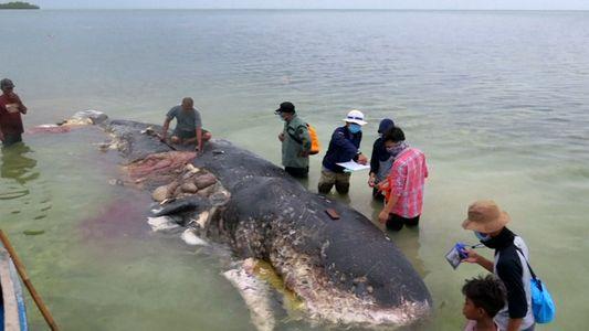 Um Cachalote Foi Encontrado Morto com 6 Quilos de Plástico no Estômago