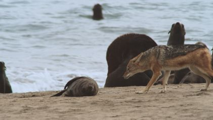 Um chacal caça crias de foca
