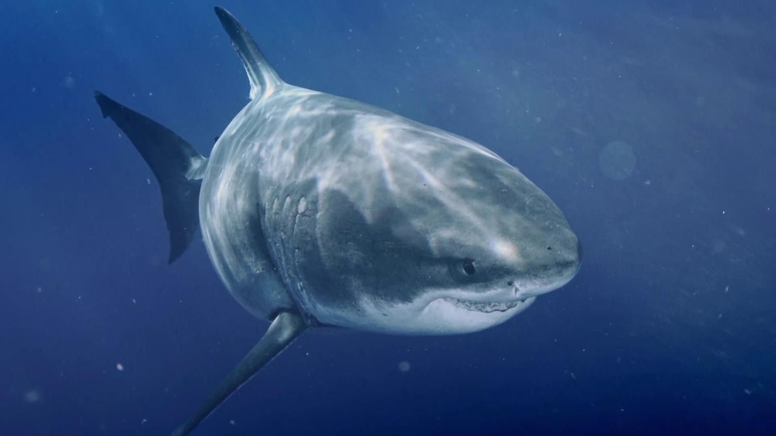 Largest_White_Shark_PT~~~~~pt~mux~~1.png