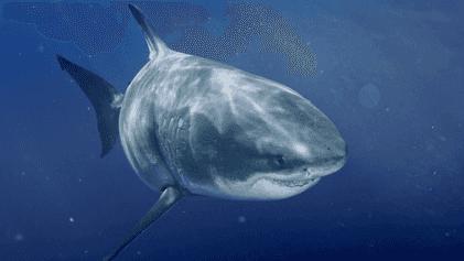 O Maior Tubarão-branco do Mundo   Most Wanted Sharks