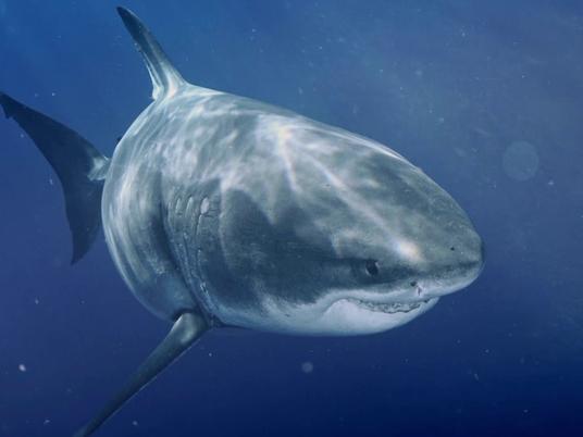 O Maior Tubarão-branco do Mundo | Most Wanted Sharks