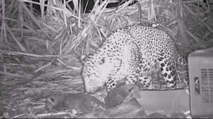 Crias de Leopardo Regressam à Mãe em Encontro Enternecedor