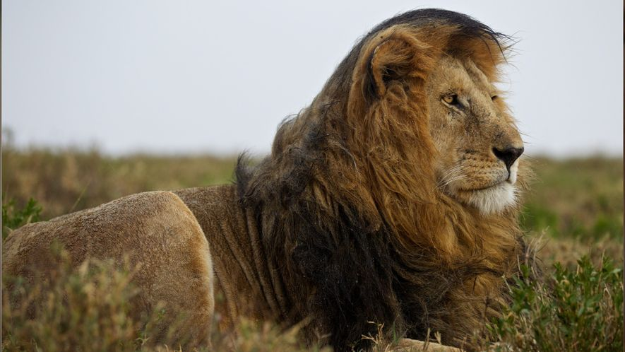 Factos sobre Leões