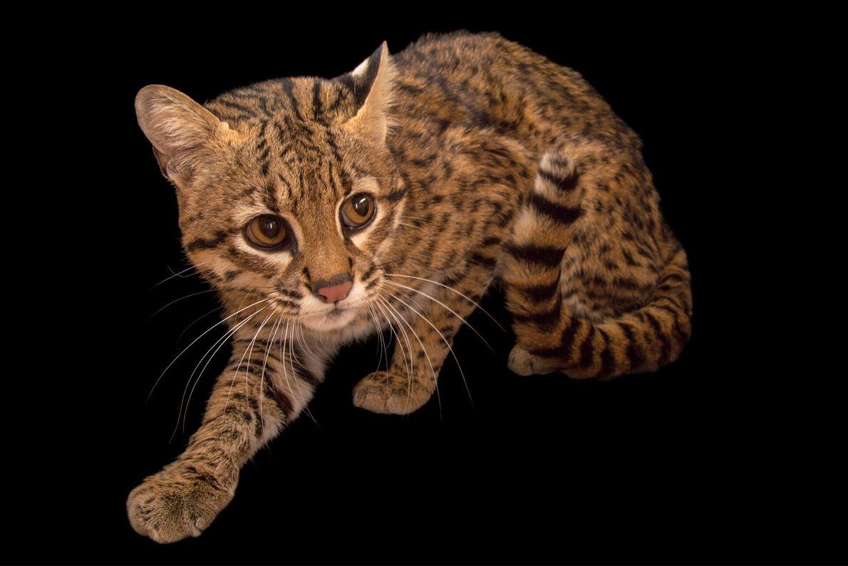 Gato-do-mato-grande
