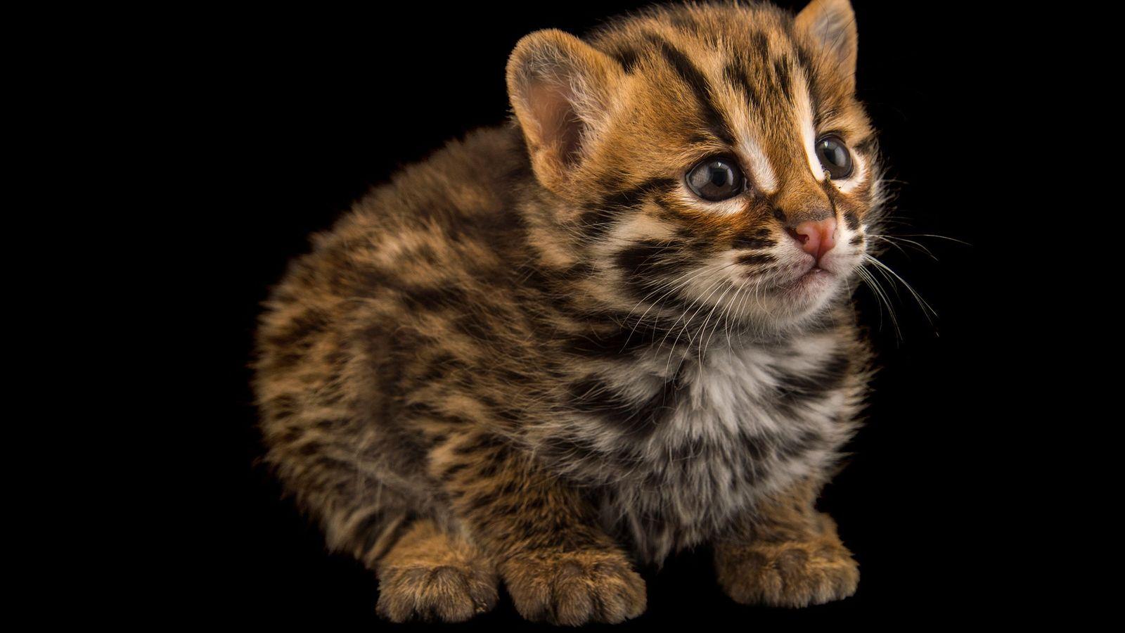 Gato-leopardo