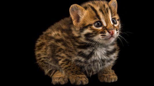 Os Extraordinários Pequenos Felinos