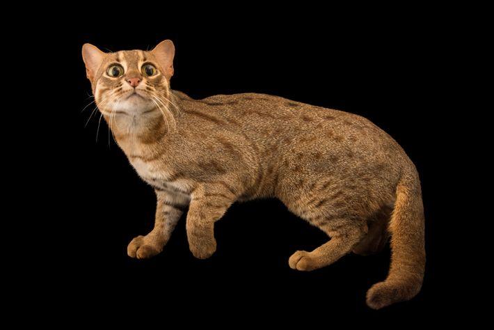 Gato-vermelho-malhado