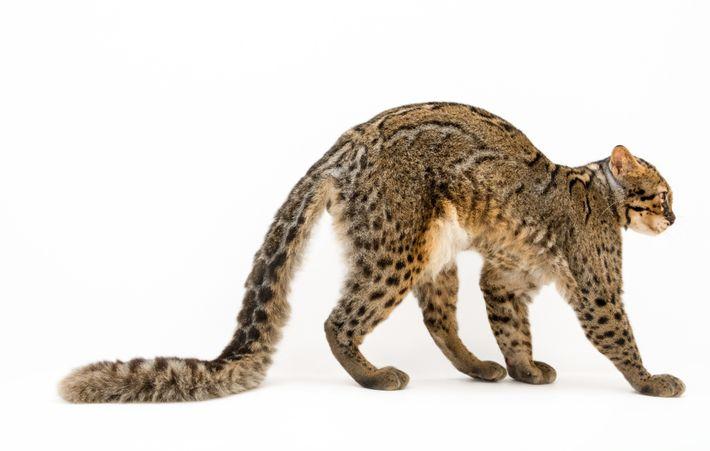 Gato-bravo-marmoreado
