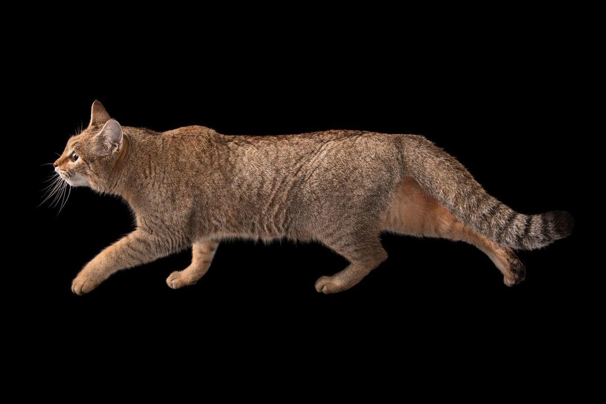 Gato-bravo-africano