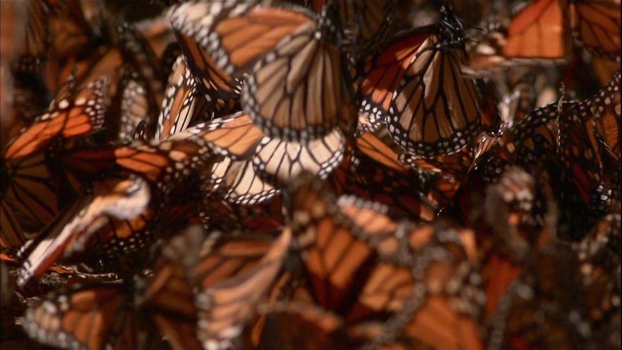 Migração da Borboleta-Monarca