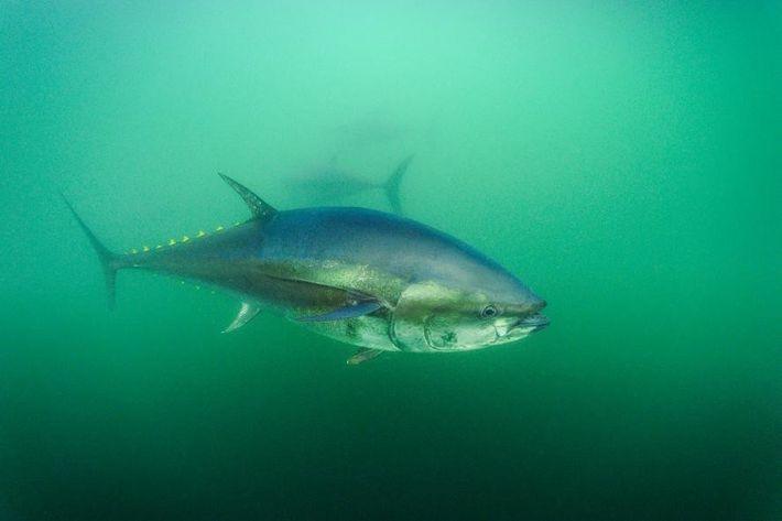 Fotografia de um atum-rabilho no Golfo de São Lourenço